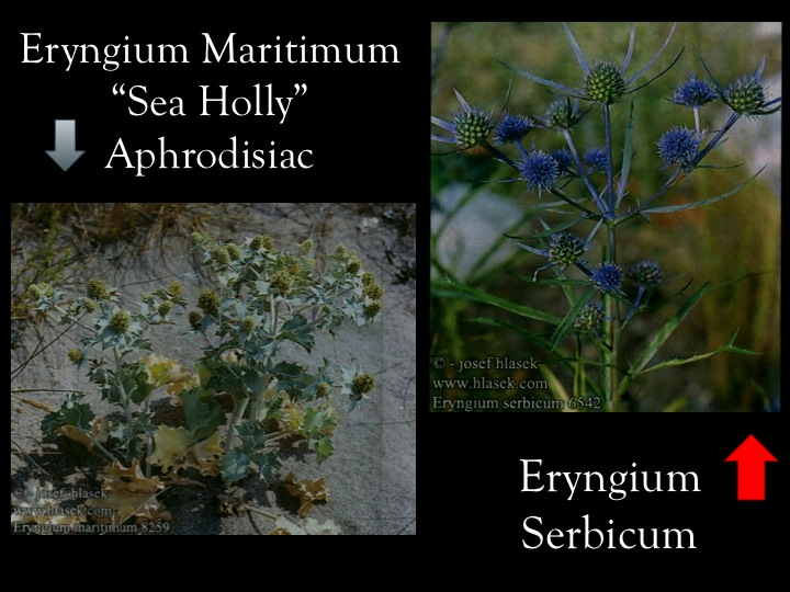 Sea Holly on the left vs Eryngium Serbicsum on the right, the true thistle depicted
